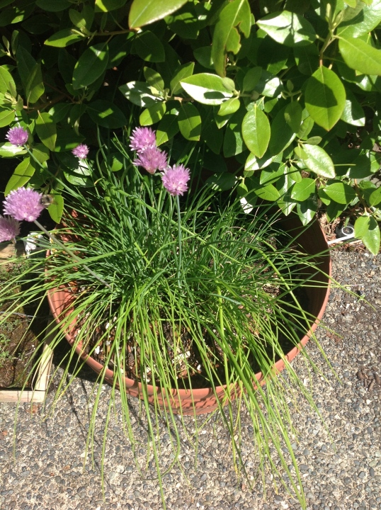 chives..