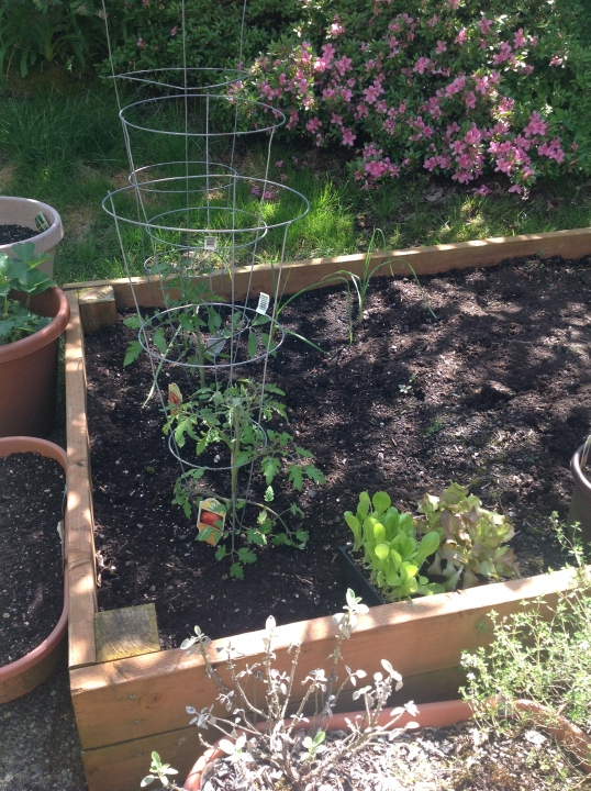 my tomatoes,garlic, lettuces