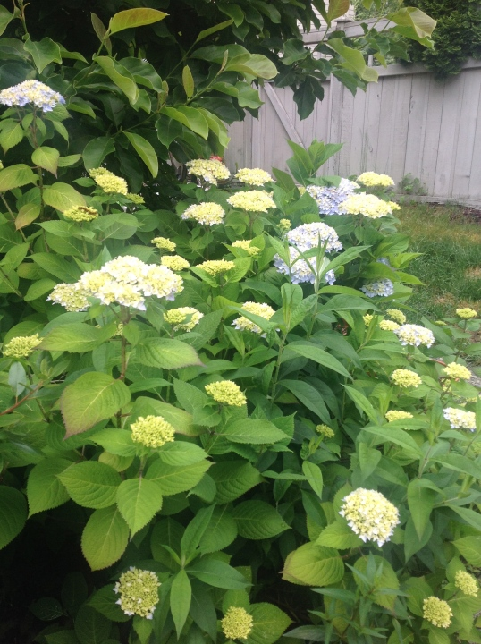 Hydrangeas galore! so looking forward to harvest this pretty flowers in the coming weeks..