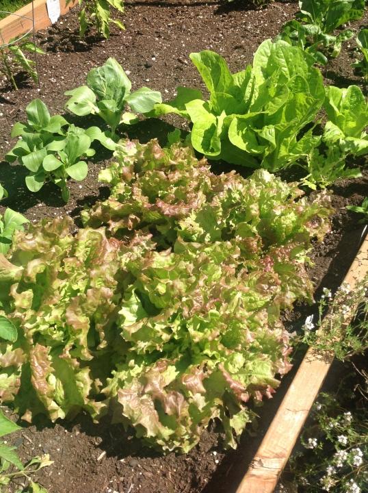 lettuces galore!