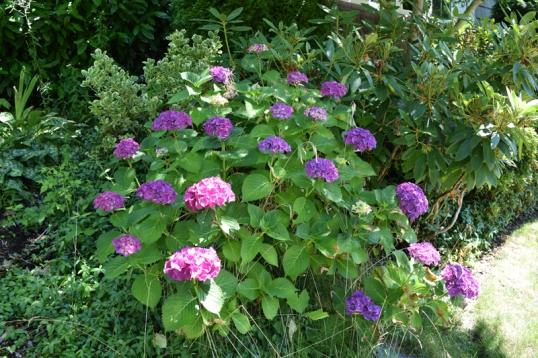 purple hydrangeas in our front yard